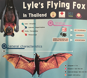 Photo 4 - Fruit Bat Photo in Thailand (1).png