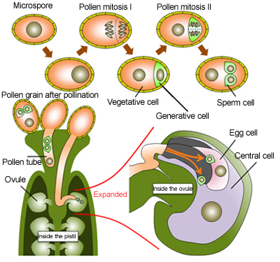 The Male Gametophyte of Flowering Plants - The